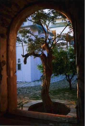 Никомидийская маслина у алтаря Свято-Пантелеимоновского собора