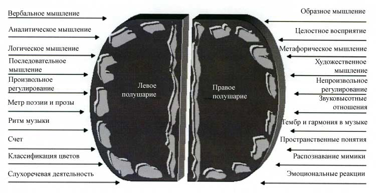 Функциональная асимметрия левого и правого полушарий мозга